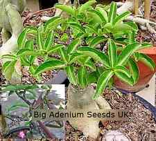 Adenium Thai Socotranum Black KHZ (Very Rare) x 5 Seeds