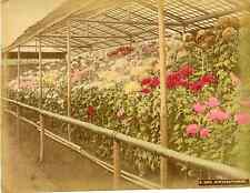 Japon, Chrysanthimum  Vintage albumen print, Japan Tirage albuminé aquarel