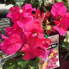 JAMAICAN RED Bougainvillea gold splashed leaves climbing plant in 140mm pot