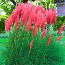 Pampasgras * ausgefallenes Ziergras * im Topf * Farbe: rot / pink * 1 Pflanze