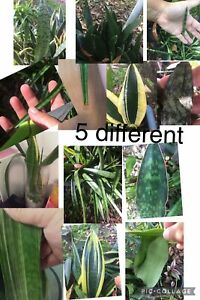 5 Different Snake Plant Sansevieria Mother-in-law Devils Tongue Lot Variegated