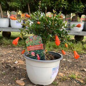 Mini Stem Pomegranate - Punica granatum