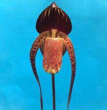 Paphiopedilum anitum paph slipper species near mature size seedling