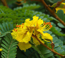 Golden Flame Tree Seed Medium Height Native No Frost Tropical or Subtropical