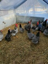 12 Sapphire Blue Plymouth Rock Chicken Eggs.