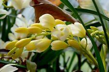 "Cymbidium hybride ""Ice Cascade"", XL Orchidée 2-3 tiges floral , Orchid"