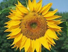 DWARF SUNSPOT SUNFLOWER SEEDS 30+ shorty 2 FT ANNUAL garden BEES Free Shipping