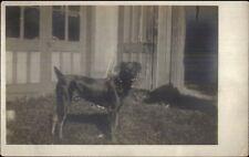 Crisp Photography - Doberman Mix? Dog c1910 Real Photo Postcard