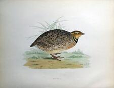 QUAIL, Beverley Morris antique bird print 1855