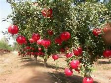 Pomegranate Seeds! DELICIOUS FRUIT! COMBINED S/H! SEE OUR STORE FOR RARE SEEDS!