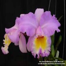 Blc Marcella Koss Am/Aos, orchid plant