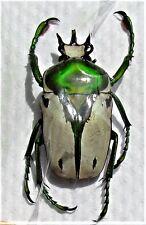 Brilliant Flower Beetle Ranzania (Taurhina) bertolonii Male FAST FROM USA