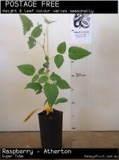 Raspberry - Atherton ( probus ) Fruit Tree Plant