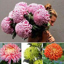 Chinese Mum Seed Rare Perennial Flower Seeds Chrysanthemum Plant Seed Mix corlor