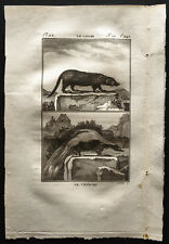1799 - Buffon - Le coase, le chinche - Gravure zoologie