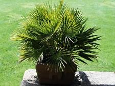 Trachycarpus wagnerianus (Miniature Chusan Palm) - 10  seeds