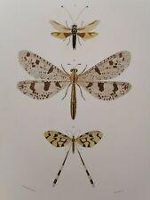 Orbigny Gravure Sur Acier XIXème Névroptères Ascalaphe Blanchard pinx 1849