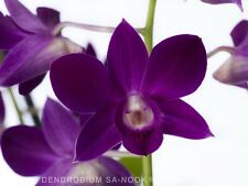 Dendrobium Sa-Nook Purple Happiness now flowering Premium Quality Orchid plant,
