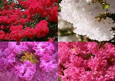 CREPE MYRTLE 4 COLOUR VARIETY SEED PACK LAGERSTROEMIA INDICA GARDEN SEEDS