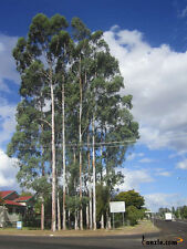Queensland White Gum Seed Drought/Frost OK Rare & Endangered