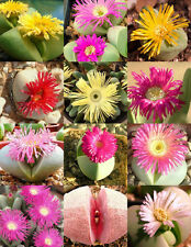 10 Argyroderma mixed seeds * Easy grow * Exotic * succulents CombSH C33