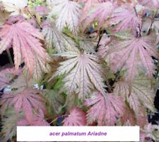 Acer palmatum Ariadne vaso 9 cm. pianta innestata greff - adatto per bonsai