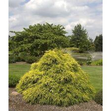 Cypress, Gold Thread Chamaecyparis pisifera 'Filifera Aurea'