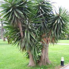 Yucca elephantipes (20 graines)