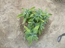 "Sage, Gardener's Friend 4"" Potted Plant, Combined Shipping"