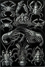 Ernst Haeckel Art Forms of Nature Spider Crab Crayfish Lobster Crawfish 18x24new