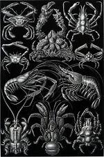 Ernst Haeckel Art Forms of Nature Spider Crab Crayfish Lobster Crawfish 18x24new