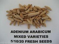Adenium Arabicum Mixed Fresh and Viable Seeds ~ Bonsai ~ Free seed offer!