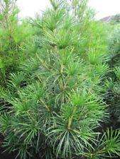Sciadopitys verticillata Big Green - japanische Schirmtanne Big Green 40-50