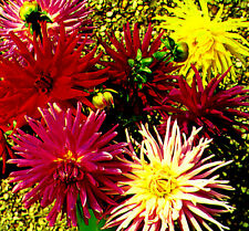 Dahlia Cactus Flowered Mix mixed 120 seeds - Annual