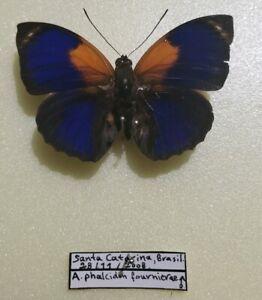 Agrias phalcidon fournierae male - Santa Catarina, Brazil