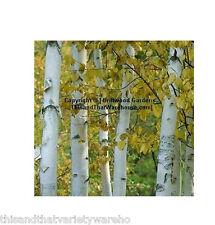 Betula papyrifera Paperbark Birch Tree Seeds Colorful White Bark Bonsai Standard
