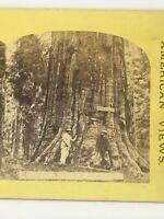 Mammoth Trees California  Stereoview