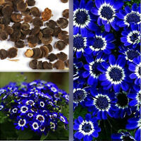 50PCs Rare Blue Daisy Plants Flower Seeds Exotic Ornamental Flowers Garden Decor