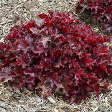 HEUCHERA 'CHERRY TRUFFLES' - CORAL BELLS.  Perennial.  Plant