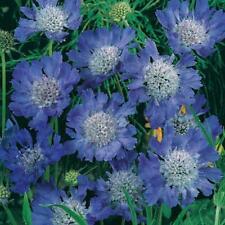 Pack x3 Scabiosa (Pin-Cushion) 'Fama Blue' Perennial Supersize XXL Plug Plants