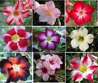 Adenium Obesum - Desert Rose- 5 Fresh Viable Seeds- Choice of 9 Pretty Varieties
