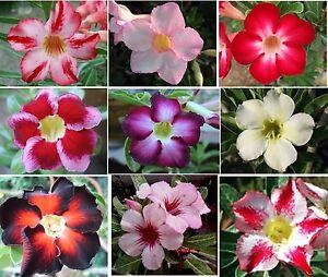 Adenium Obesum,Desert Rose,Succulent-5 Fresh Viable Seeds-Choice of 9 Varieties