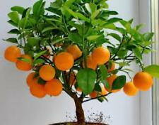 Mini Orange Tree 25cm Lovely Fruits Live Plant Best Gift Outdoor Garden Yard NEW