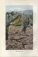 Chromo-Lithografie 1913: Wilder Kanarienvogel. Sperlings-Vögel Vogel Tiere