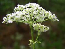 conium maculatum seeds (Poison Hemlock, Hemlock), 1 gram of seeds