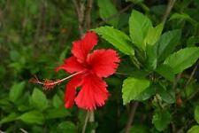 10 Graines d'HIBISCUS ROUGE (Hibiscus rosa sinensis) TROPICAL HIBISCUS Seeds