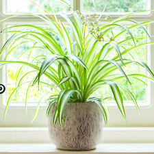 Chlorophytum Variegatum - Spider Plant | Best Indoor Plants | 20-30cm with Pot
