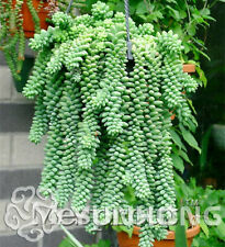 Sedum German Imports Seeds Plants Of Potted Flowers Succulents Radiation 100pcs
