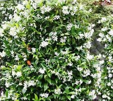 Trachelospermum jasminoides Intensiver Jasmin Blütenduft winterhart TJ25//