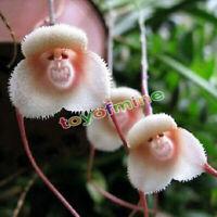10 merkwürdige seltene Affe-Gesichts-Blumen-Pflanzensamen Four Seasons Wachstum